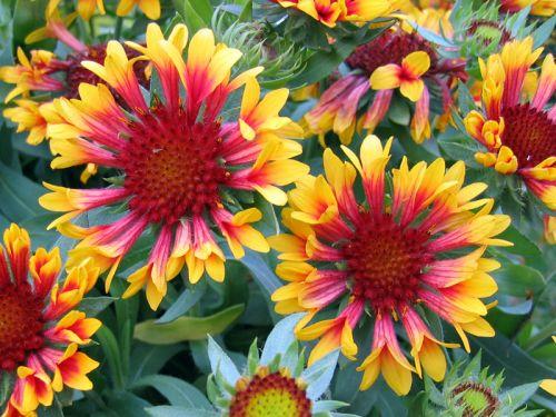Gaillarde gaillardia planter cultiver multiplier - Fleur a planter ...