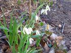 Perce-neige, Galanthus nivalis