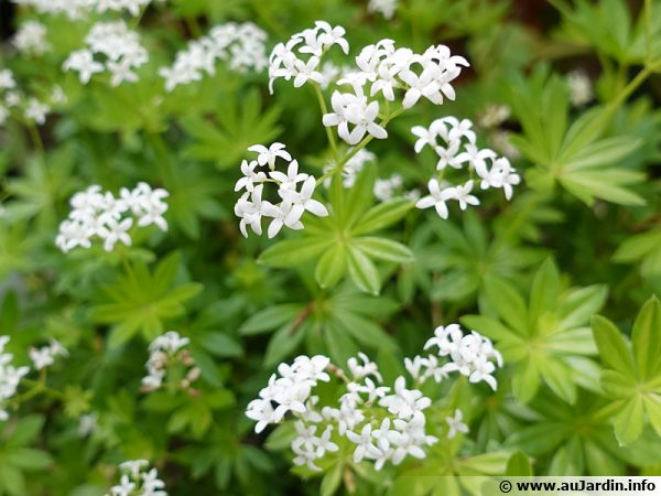 Aspérule odorante, Gaillet odorant, Petit muguet, Thé suisse, Galium odoratum