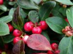 Gaulth�rie couch�e, Th� du Canada, Alisier, Gaultheria procumbens
