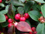 Gaulthérie couchée, Thé du Canada, Alisier, Gaultheria procumbens