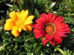 Fleurs aux pétales rayées de Gazania