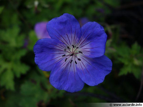 g ranium vivace rozanne geranium 39 rozanne 39 planter cultiver