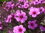Fleurs du Geranium maderense