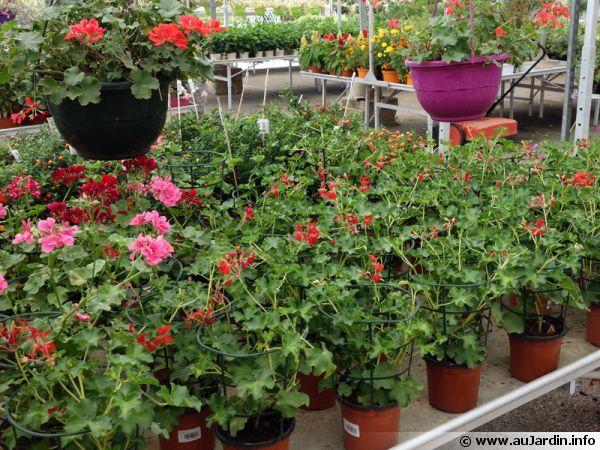 Des géraniums dans les rayons des jardineries au printemps