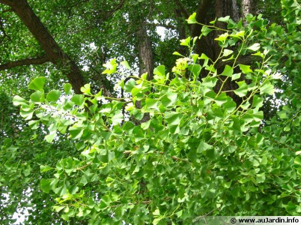 arbre aux 40 cus ginkgo biloba planter cultiver multiplier. Black Bedroom Furniture Sets. Home Design Ideas