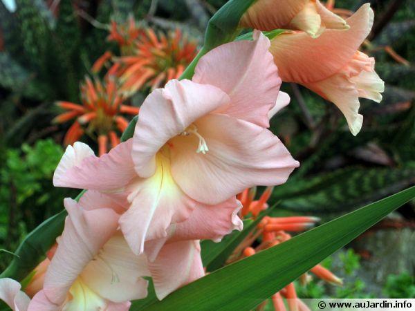 Hampe fleurie de glaieul