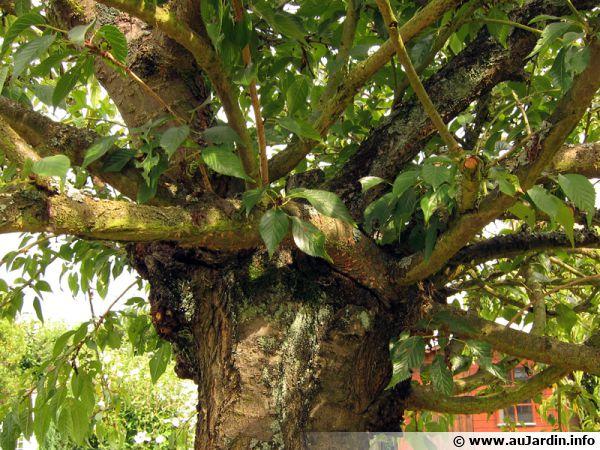 Cerisier d'ornement greffé