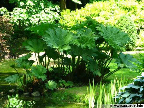 gunn re gunnera manicata rhubarbe g ante planter cultiver. Black Bedroom Furniture Sets. Home Design Ideas