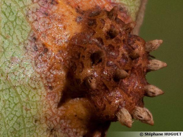 Rouille grillagée, Gymnosporangium sabinae