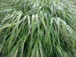 L'herbe du Japon, Herbe d'Hakone, Hakonechloa macra