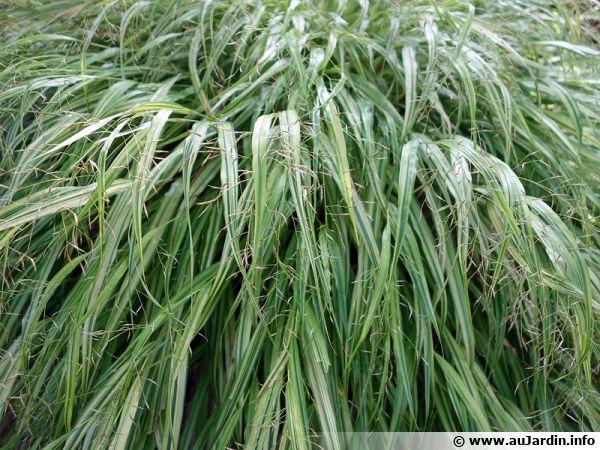 l u0026 39 herbe du japon  herbe d u0026 39 hakone  hakonechloa macra   cultiver