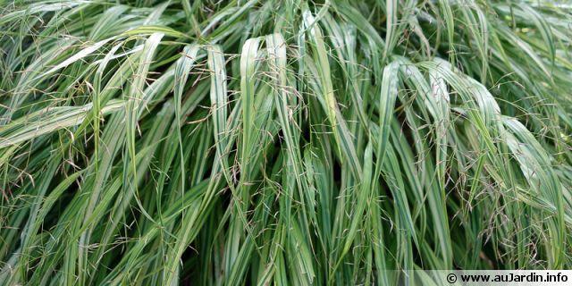 L 39 herbe du japon herbe d 39 hakone hakonechloa macra for Conseils en jardinage