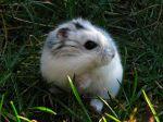 Le hamster russe, une boule de poils craquante