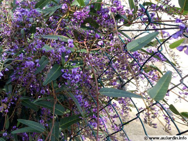 Un grillage caché par une Hardenbergia violacea en zone méditerranéenne