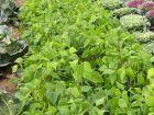 Améliorer le sol grâce aux légumineuses