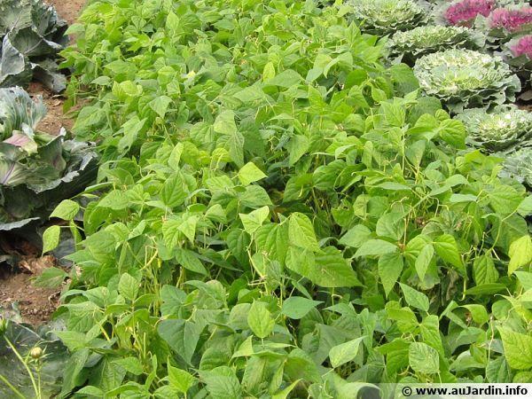 Le haricot est une légumineuse pour permet d'améliorer le sol