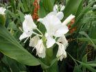 Gingembre papillon, Mariposa, Gingembre blanc, Hedychium coronarium