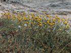 Immortelle d'Italie, Plante-curry, Helichrysum italicum