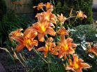 Hémérocalle orange, Lis d'un jour, Hemerocallis fulva