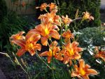 Hémérocalle orange, Lis d'un jour, Hemerocallis fulva