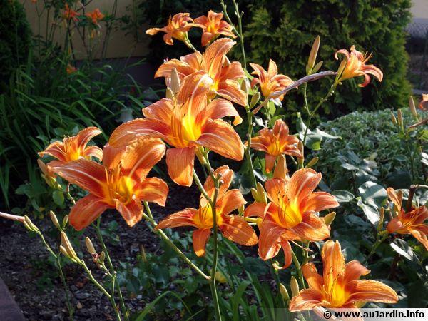 Hémérocalle orange, Lis d'un jour, Hémérocalle fauve, Hemerocallis fulva