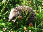 Le hérisson, un petit animal fragile qui appréciera un jardin naturel