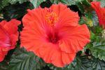 Comment hiverner un hibiscus?