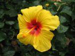Hibiscus, Rose de Chine, Hibiscus x rosa sinensis, Fille des iles