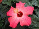 Hibiscus, Rose de Chine, Rose de Cayenne, Fille des îles, Hibiscus rosa-sinensis