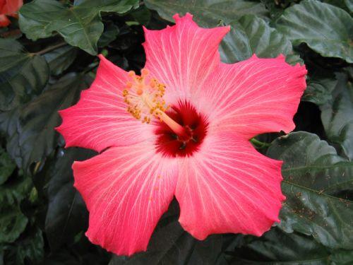 hibiscus, rose de chine, rose de cayenne, fille des îles, hibiscus