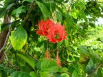 Hibiscus schizopetalus, Lanterne japonaise