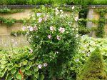 Les hibiscus vivaces et rustiques