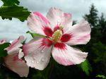 Fleur d'althéa blanc-rose