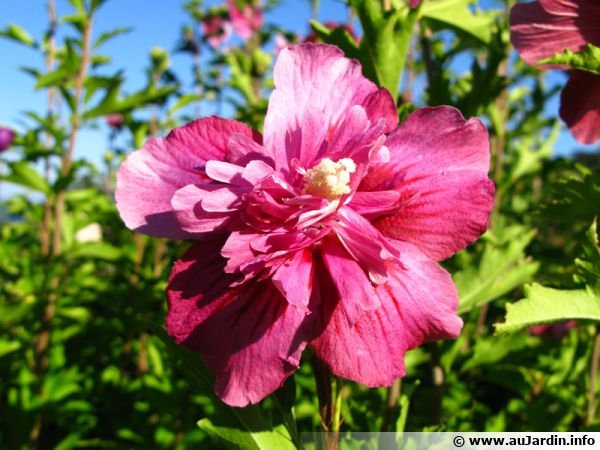 alth a ketmie mauve en arbre hibiscus syriacus conseils de culture. Black Bedroom Furniture Sets. Home Design Ideas