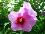 Fleur d'althéa mauve