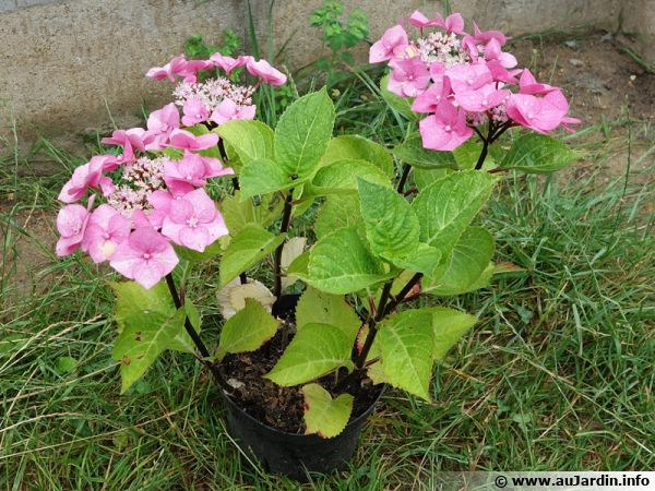 comment planter un hortensia
