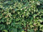 Houblon, Humulus lupulus