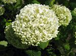 Hydrangée arborescent, Hydrangea arborescens