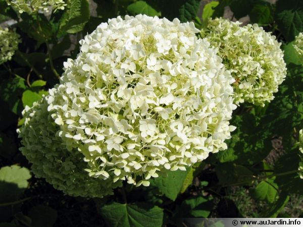 Hydrang e arborescent hortensia de virginie hydrangea arborescens - Taille des hortensias fleurs ...