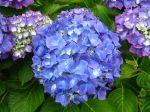 Un hortensia à fleurs bien bleues