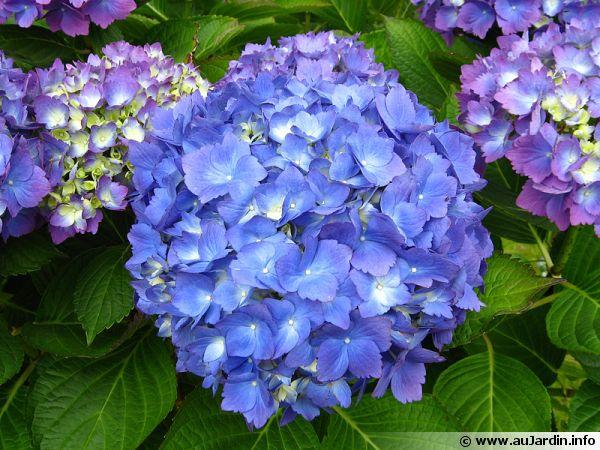 un hortensia  u00e0 fleurs bien bleues
