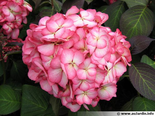 hortensia hydrangea planter cultiver multiplier. Black Bedroom Furniture Sets. Home Design Ideas