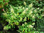 Hydrangea paniculata 'Floribunda'