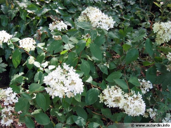 Hydrang a panicul hydrangea paniculata conseils de culture - Taille des hortensias fleurs ...