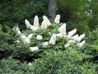 Hortensia � feuilles de ch�ne, Hydrangea quercifolia