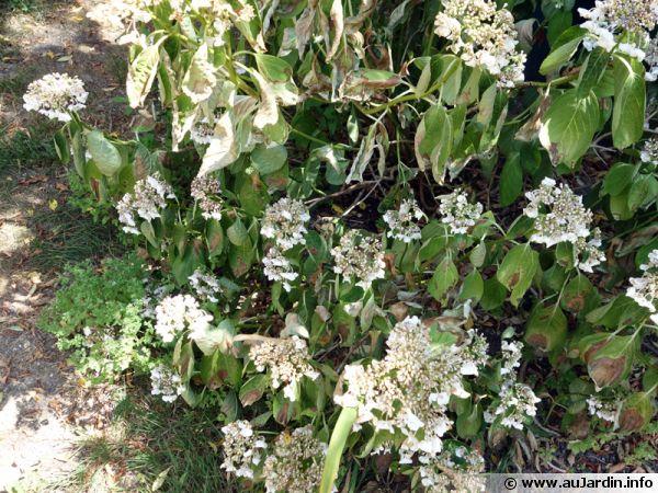 Un hydrangea ayant souffert de sécheresse