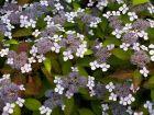 Hydrangéa à bonnets de dentelle Blue Bird, Hydrangea serrata 'Blue Bird'