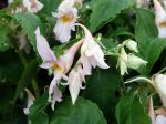 Impatiens qingchanganica 'Emei Dawn'