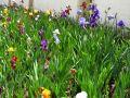 Des iris au jardin